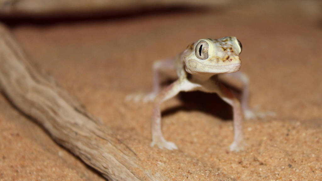 Gecko at night
