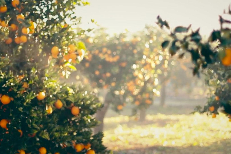 Sun dappled orange groves