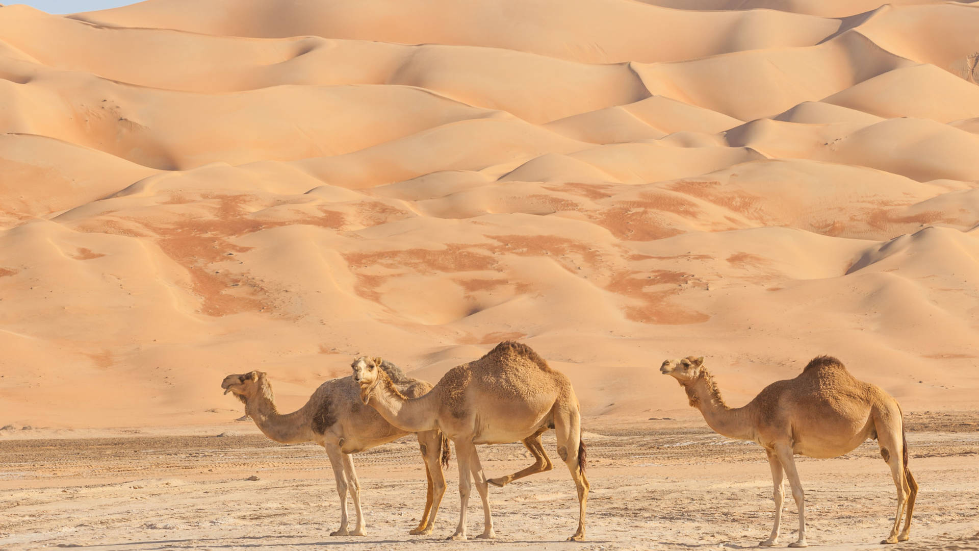 Camels in the empty quarter in Abu Dhabi