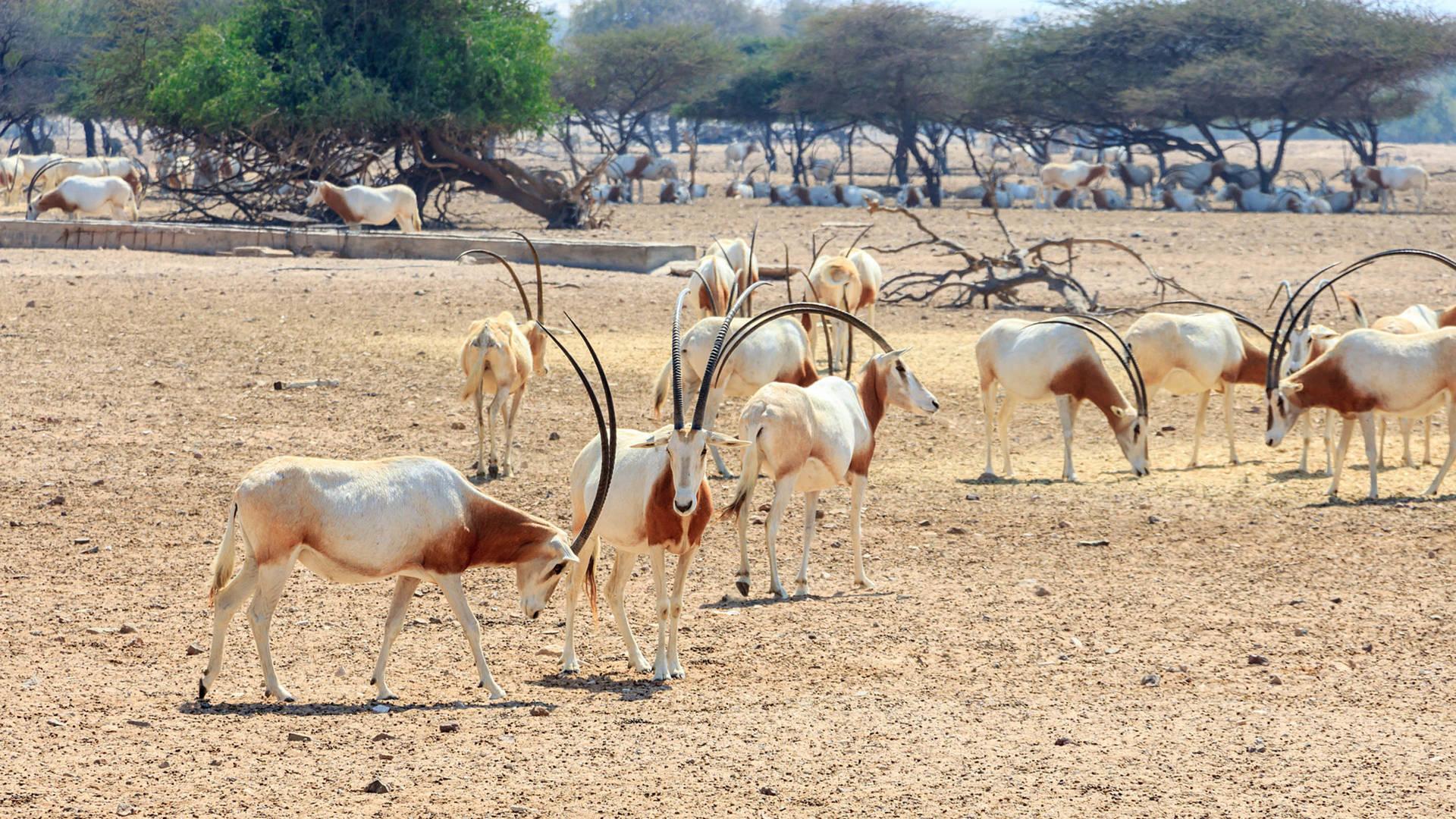 oryx wild abu dhabi