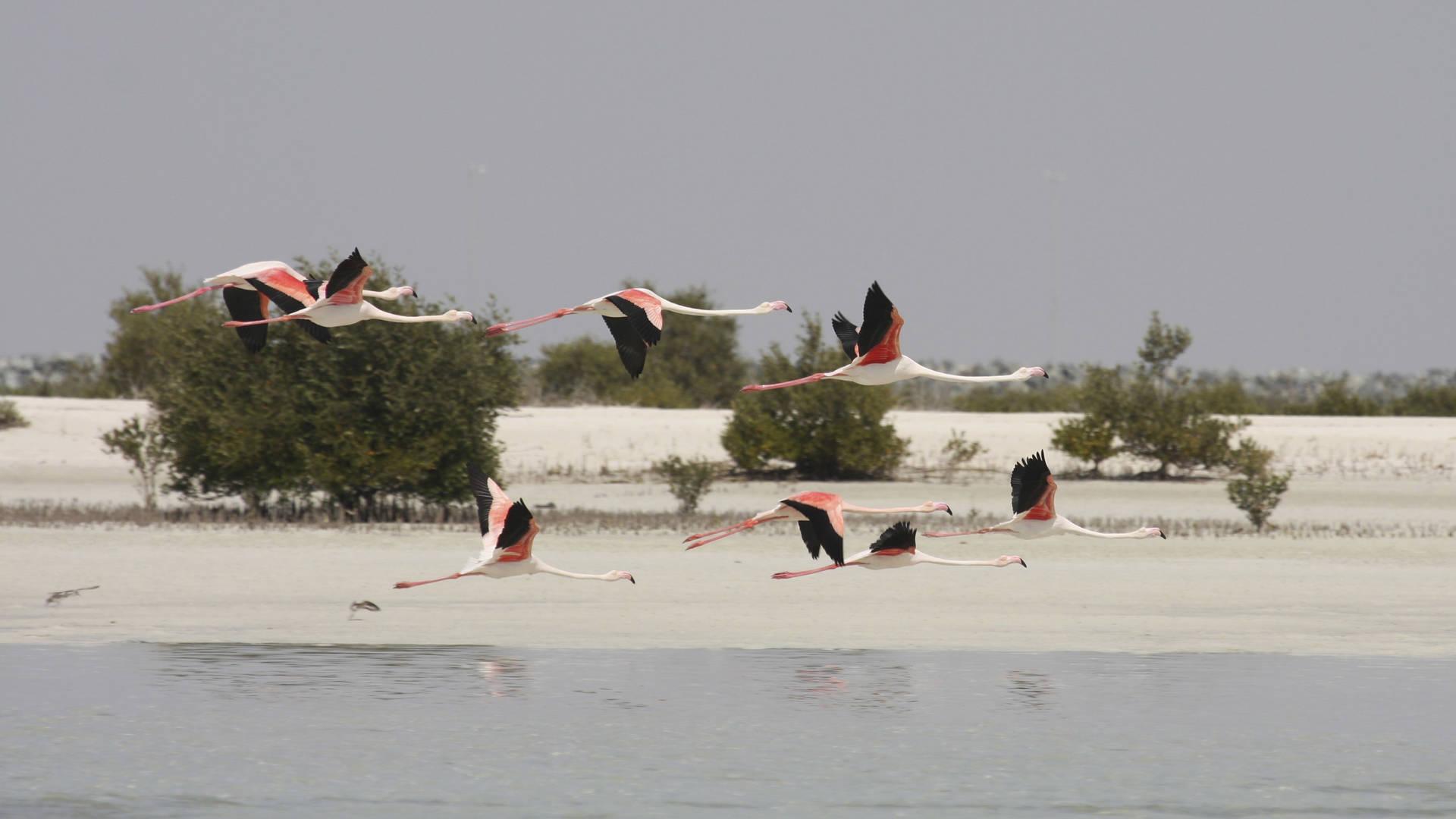 flamingos wild abu dhabi