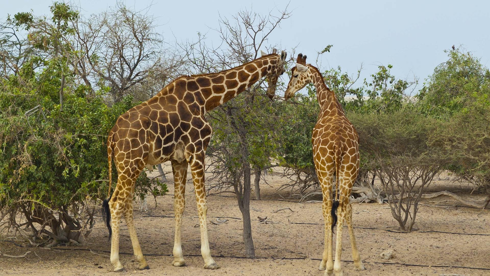giraffe wild abu dhabi