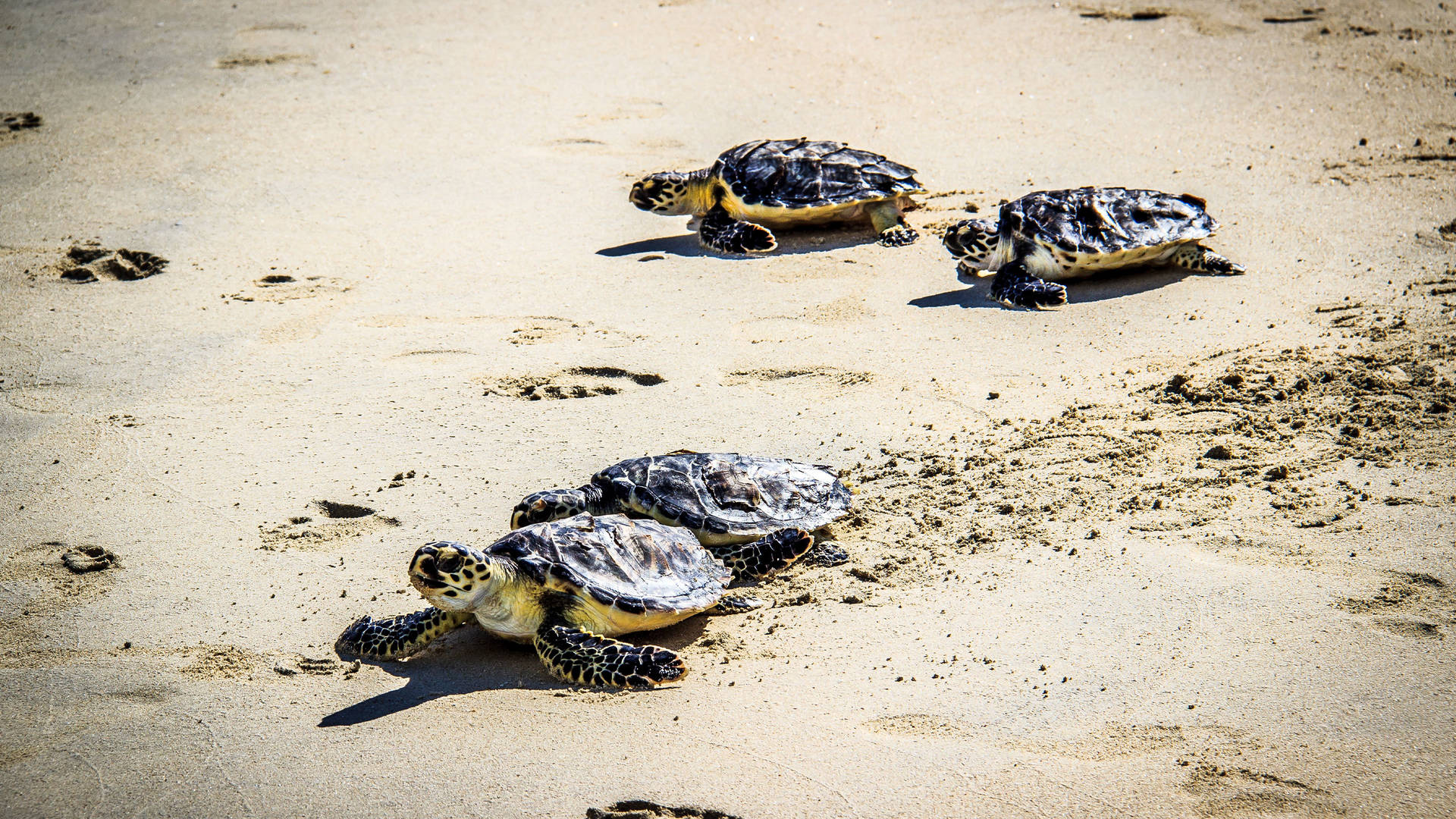 帆船酒店海龟放生