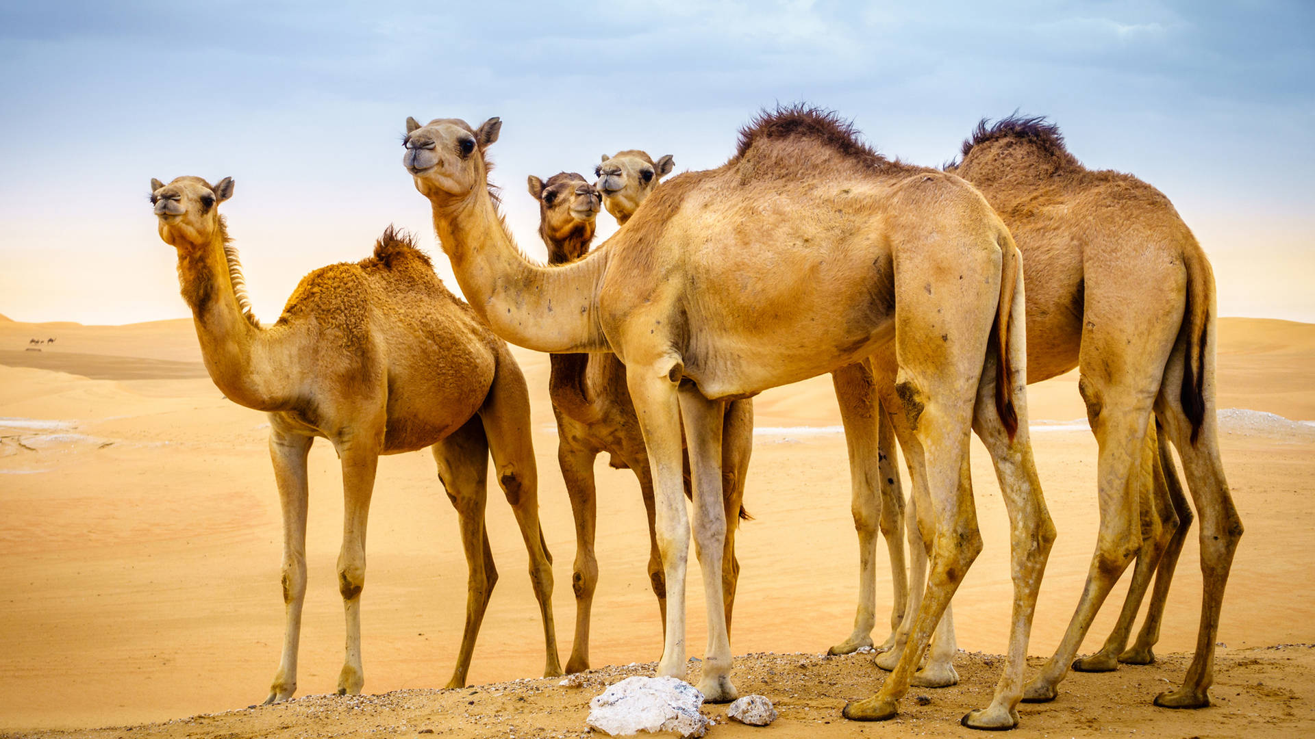 Camels in the desert near Al Ain