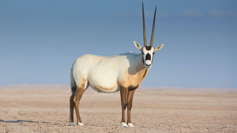 Animal adventures in Hatta Arabian Oryx