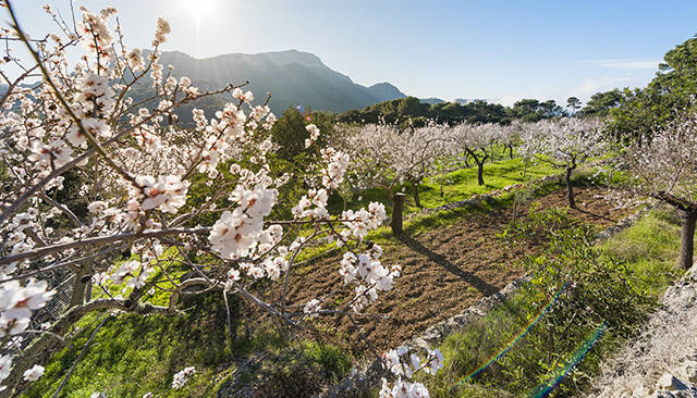 Healthy Eating in Mallorca - Almond tree