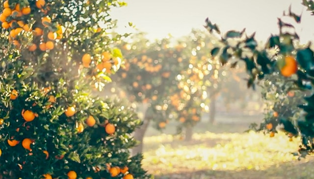 Healthy Eating in Mallorca - Orange Groves