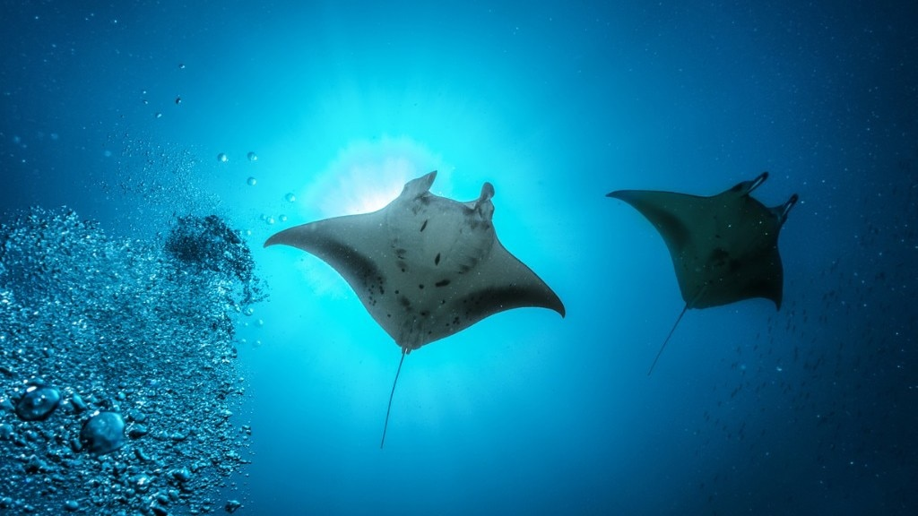 Manta ray in the oean